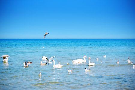 familiy: Swan familiy in the sea Stock Photo