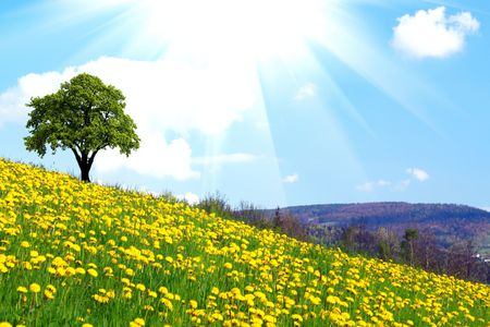 Oak tree on dandelion field photo