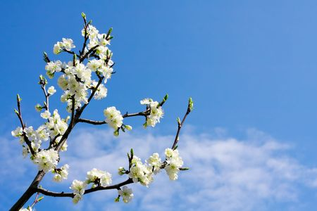 apricot tree: Cherry blossom branch Stock Photo