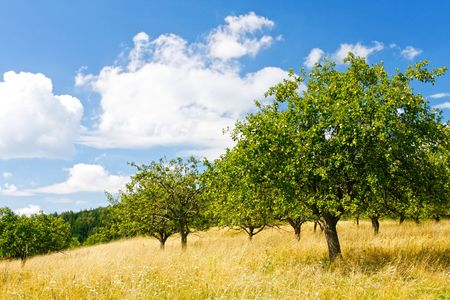 Apple orchard in the mountain photo