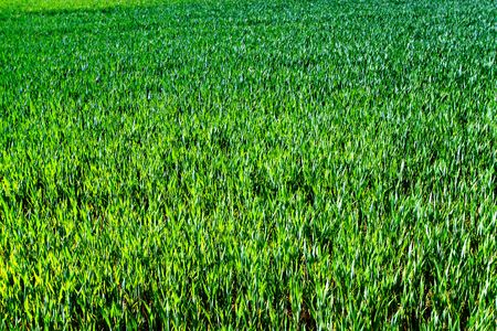 Green wheat field photo