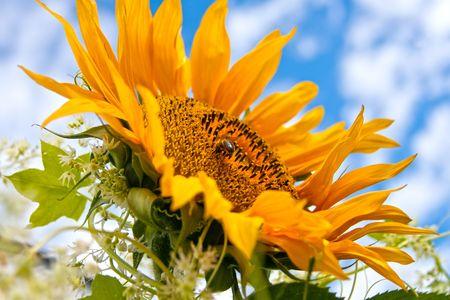 Fantastic sunflower Stock Photo - 7276831