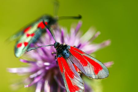 zygaena: Zygaena  Stock Photo