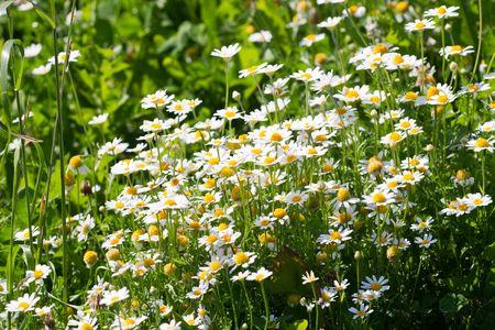 daises: White wild daisies