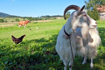 Animales de la cabra y la granja  Foto de archivo - 7650152