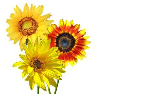 Isolated sunflowers photo