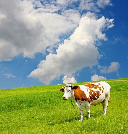 Cow and the ecological environment photo