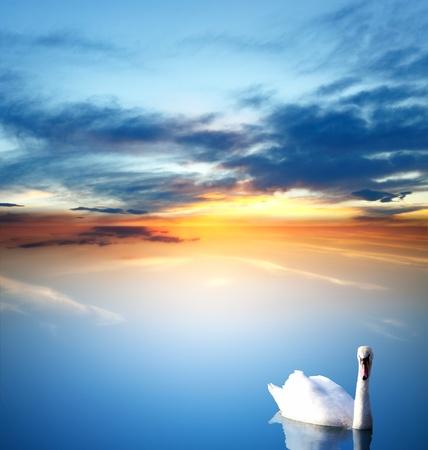 swan lake: Swan and golden sunset Stock Photo
