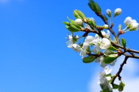 Blossom on blue sky photo
