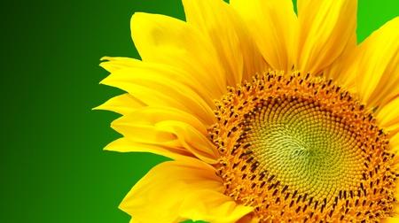 Sunflower on green background photo