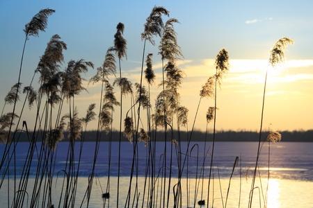 Wild grass at sunset photo