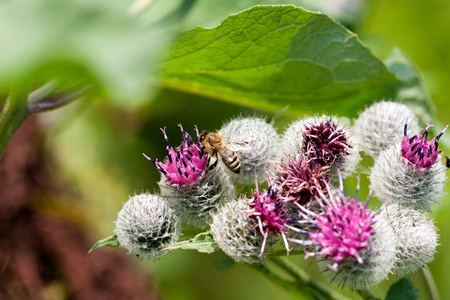 Thistle and bee in the spring photo