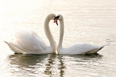 cisnes: El poder del amor Foto de archivo