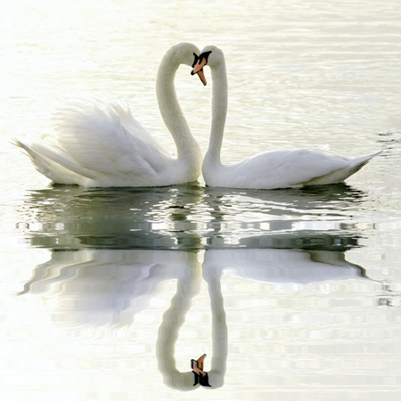 Loving Swans photo