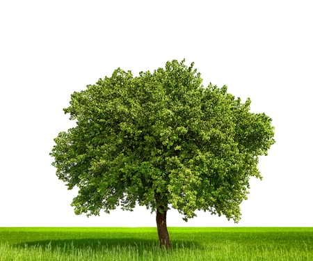 tree canopy: Isolated tree against a white background Stock Photo
