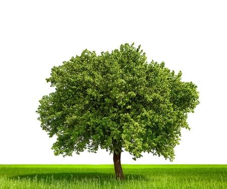 arboles frondosos: Árbol aislado contra un fondo blanco Foto de archivo