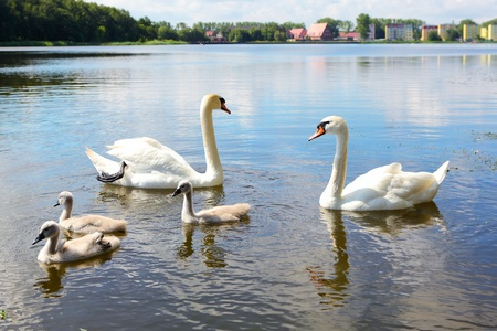 swimming bird: Swan family