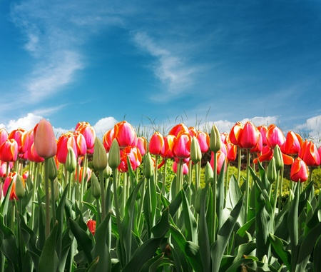 pink tulips: Tulips Stock Photo