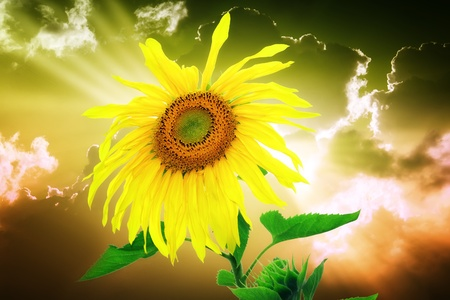 Sunflower on sunset background photo