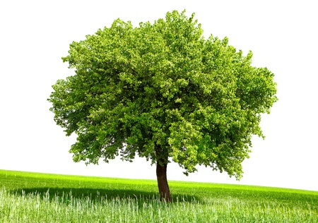 Isolated green tree Stock Photo - 11353443