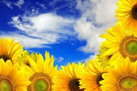 sunflower field: Beautiful gift of nature