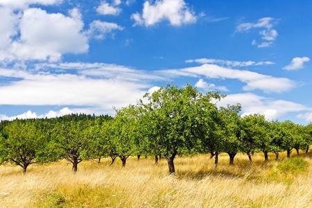 apple orchard: Apple orchard on blue sky  Stock Photo