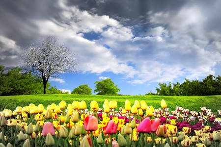 Tulips and spring meadow photo