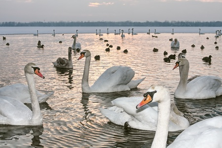Swans on winter at sunset photo