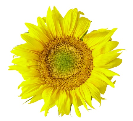Sunflower Stock Photo - 12605388