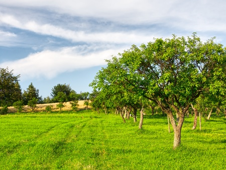 Fruit trees in a summer orchard photo
