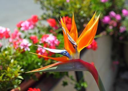 bird of paradise  flower: Bird of Paradise Stock Photo