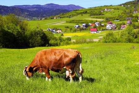 grazing land: Brown white cow on a farmland