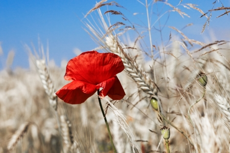 secale: Poppy in the corn