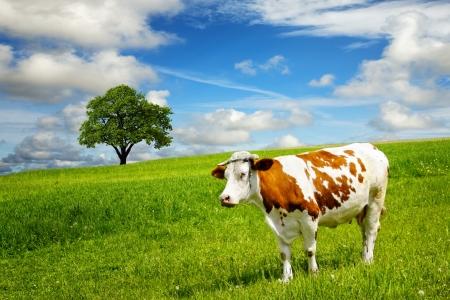 Koe en gebied van vers gras Stockfoto
