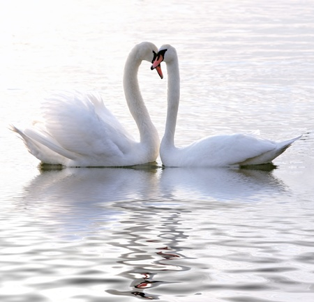 birds of paradise: Swans in love