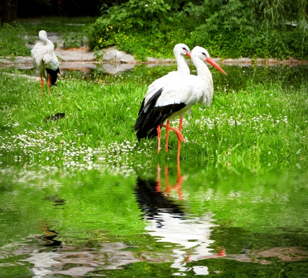 Storks on the spring meadow