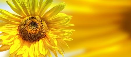 Sunflower head Stock Photo - 17684670