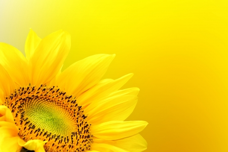Sunflower on summer background photo