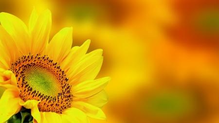 sunflower seeds: Sunflower