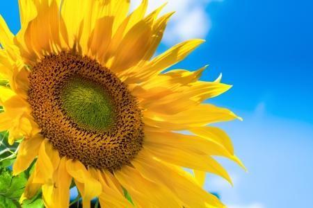 sunflower field: Sunflower background with blue sky