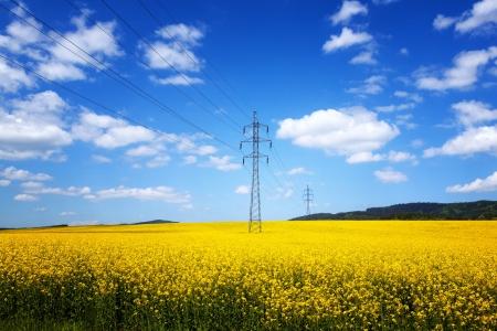 rape plant: Yellow rapeseed field