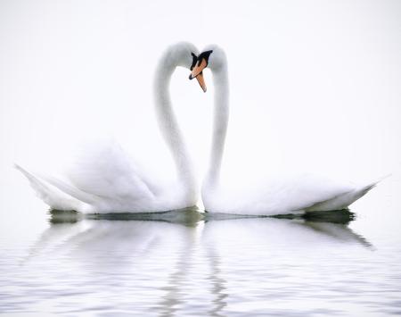 cisnes: Cisnes del amor Foto de archivo