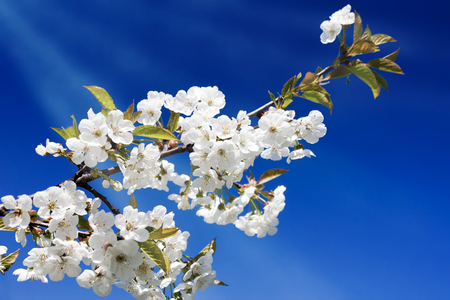 white blossom: Apple blossom Stock Photo