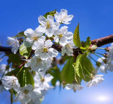 Cherry blossoms on a spring day