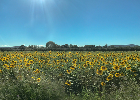 Sunflowers farm landscape view
