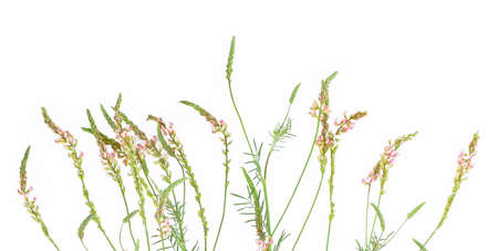 Pink wild flowers on white background. Onobrychis viciifolia, also known as O. sativa or common sainfoin.