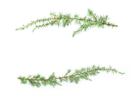 Juniper branches isolated on white background. Copy space.