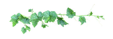 Pumpkin vine with green leaves and tendrils isolated on white background. Shoot. Archivio Fotografico