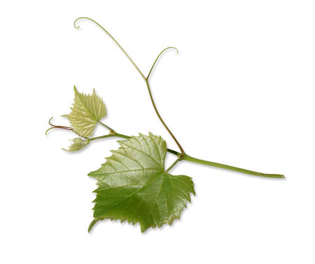 Young green tender leaves and shoots of grapes, isolated on white background. Shoot. Archivio Fotografico
