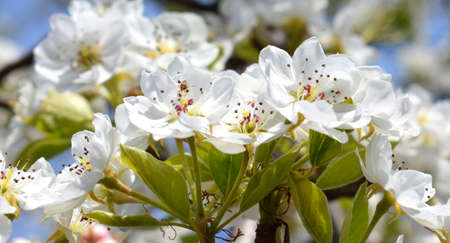 Flowering pears in orchard, inflorescences close-up. Spring time.